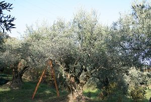 AOP huile d'olive de Haute-Provence - variété aglandau, Manosque, Sainte-Roustagne, Originel