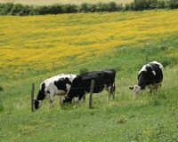 Auvergne_280x254_Vaches_paturage