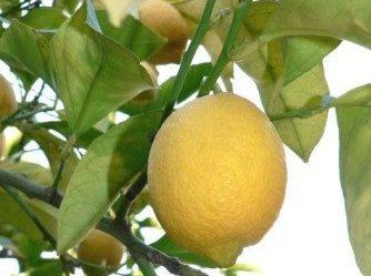 Citron de Menton IGP jaune, grandes feuilles lancéolées vert clair