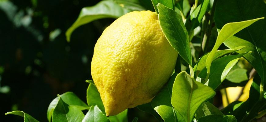Citron de Menton IGP sur citronnier à Grasse