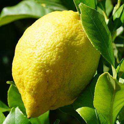 Citron de Menton IGP avec feuille lancéolée