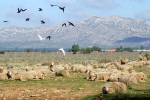 Troupeau de moutons dans le Crau