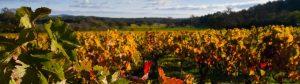 Le Bas-Languedoc, vignes à l'automne