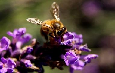 abeille sur fleur de lavande
