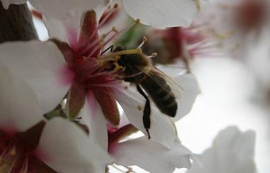 miel de Porvence abeille sur fleur d'amandier