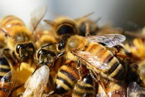 IGP Miel des Cévennes, abeilles domestiques Apis melliferaen gros plan