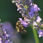 miel de Provence igp abeille sur fleurs de lavande