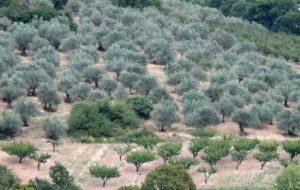 Verger d'oliviers - olives noires de Nyons AOP