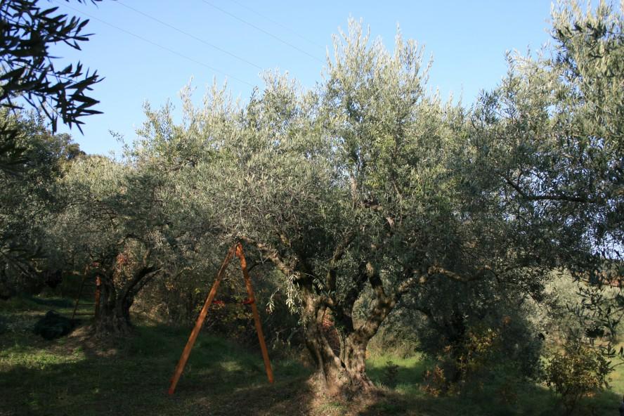 AOP huile d'olive de Haute-Provence Arbre Aglangau dans Olivette à Manosque, récolte manuelle à l'aide d'un trépier