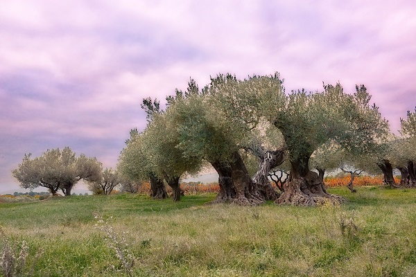 AOC huile d'olive de Provence, olivier centenaire au tronc divisé par le gel , à Puget