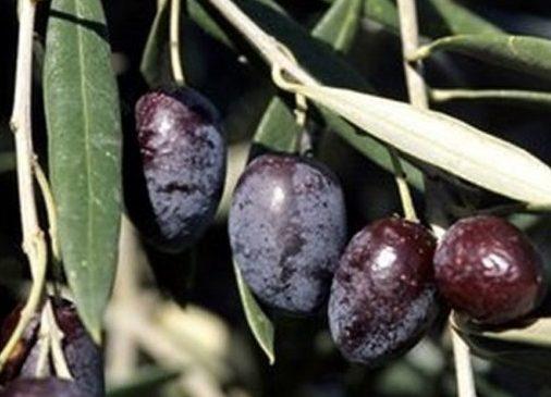 Olives noires Cailletier, pour production des AOC olive de Nice et pâte d'olive de Nice
