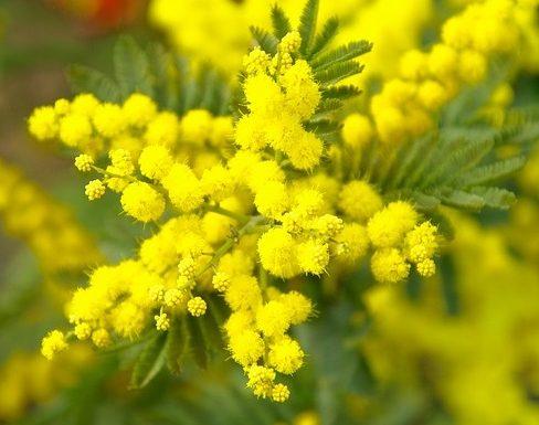 Mimosa en floraison, fleur emblématique du carnaval de Nice et espèce possible pour la demande de reconnaissance IGP Fleurs de Nice