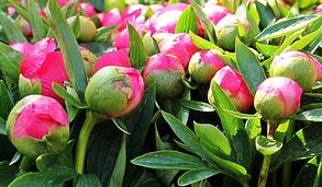 """Pivoines en boutons, marché aux fleurs de Nice. Une des 7 espèces retenues pour la demande de reconnaissance IGP """"Fleurs coupées de Nice"""""""