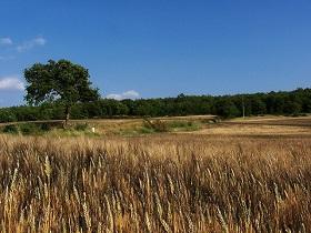 Champ de blé, Maine-et-Loire