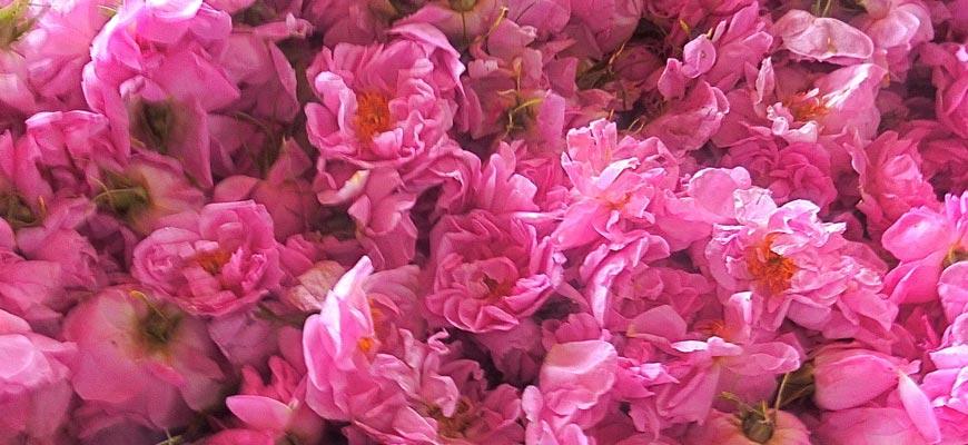 Huile Essentielle de Rose de Damas IGP
