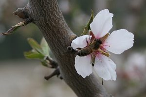IGP Miel de provence, abeille sur fleur d'amandier