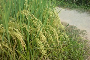 Indication IGP riz de Camargue